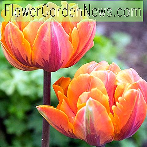 Tulipa 'Orange Princess' (Tulipe double tardive)