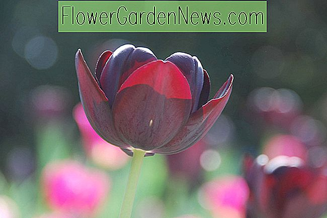 Tulipa 'Queen Of Night' (Single Late Tulip)