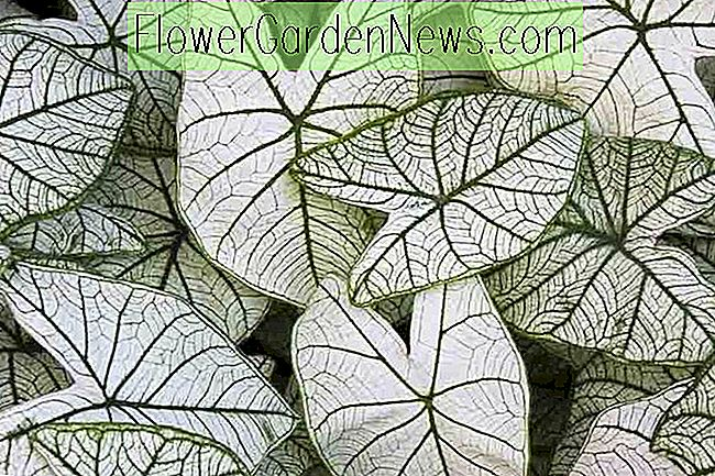 Caladium 'Candidum' (Angel Wings)