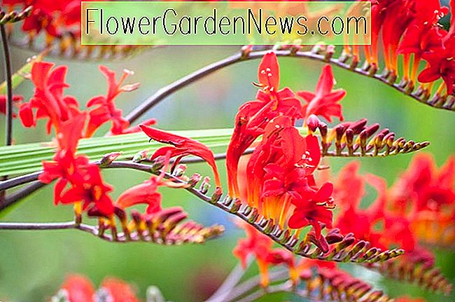 Crocosmia Lucifer, Montbretia Lucifer, Crocosmia Crocosmiiflora Luzifer, Coppertips Lucifer, Sternschnuppen Lucifer