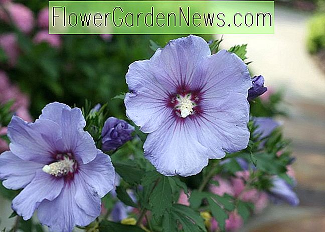 Hibiscus syriacus 'Azurri Blue Satin' (Rose of Sharon)