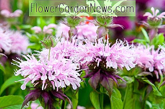 Monarda 'Beauty of Cobham' (Baume d'abeille)