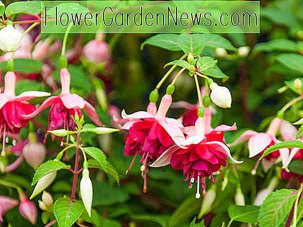 Fuchsia 'Hawaiian Sunset'