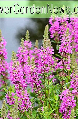 Lythrum salicaria (Lila Loosetrife)