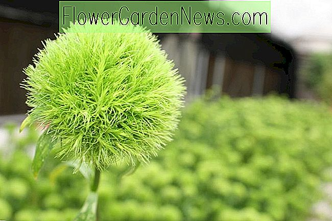 Dianthus 'Green Ball' (Sweet William)