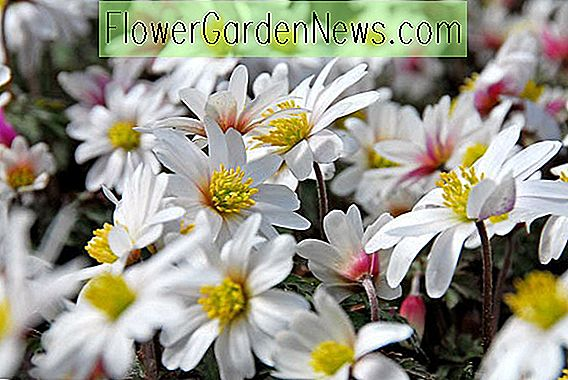 Anemone blanda 'White Splendor' (Grecian Windflower)