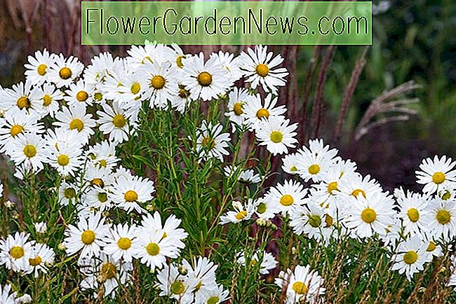 Leucanthemella serotina (herfst Ox-Eye Daisy)