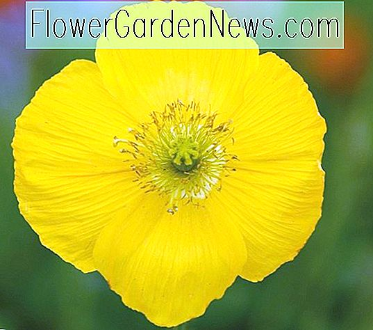 Papaver nudicaule 'Champagne Bubbles Yellow' (IJslandse papaver)