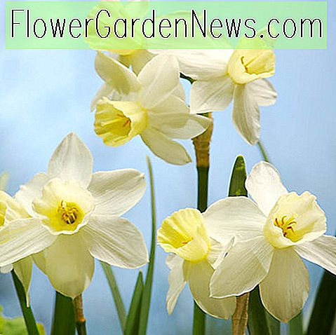 Narcissus 'zeilboot' (Jonquil Narcis)