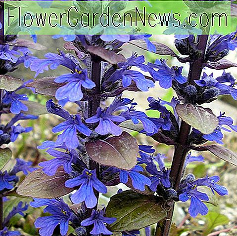 Ajuga reptans 'Bronze Beauty' (พรมแคร่)