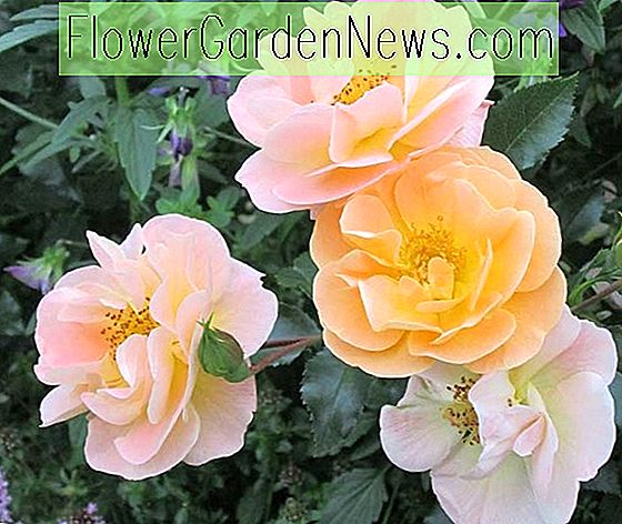 Rose 'Flower Carpet Amber', Rosa 'Flower Carpet Amber', Groundcover Roses, Gule roser