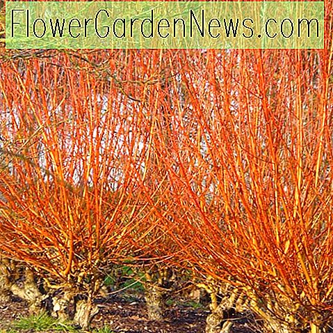 Salix alba var.  vitellina 'Yelverton' (Golden Willow)