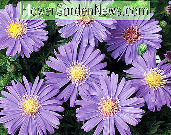 Aster dumosus 'Sapphire' (Bushy Asters)