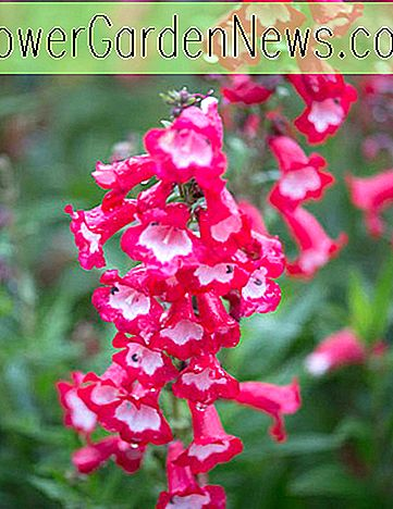 Penstemon 'Arabesque Red' (Bartfaden)