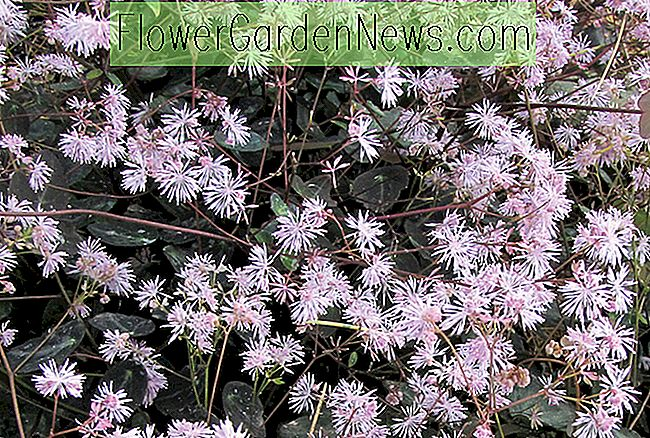 Thalictrum ichangense 'Evening Star' (Meadow Rue)