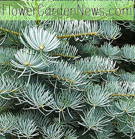Abies concolor 'Candicans', White Fir 'Candicans', Argentea White Fir, Abies concolor 'Argentea', Evergreen Conifer, Evergreen Shrub, Blue Conifer, Blue Fir