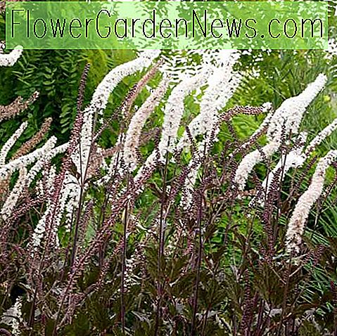 Actaea simplex (Atropurpurea Group) 'Black Negligee' (Baneberry)