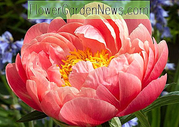 Paeonia 'Coral Sunset' (Pfingstrose)