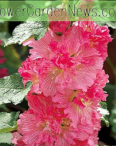 Alcea rosea 'Spring Celebrities Carmine Rose' (Hollyhock)
