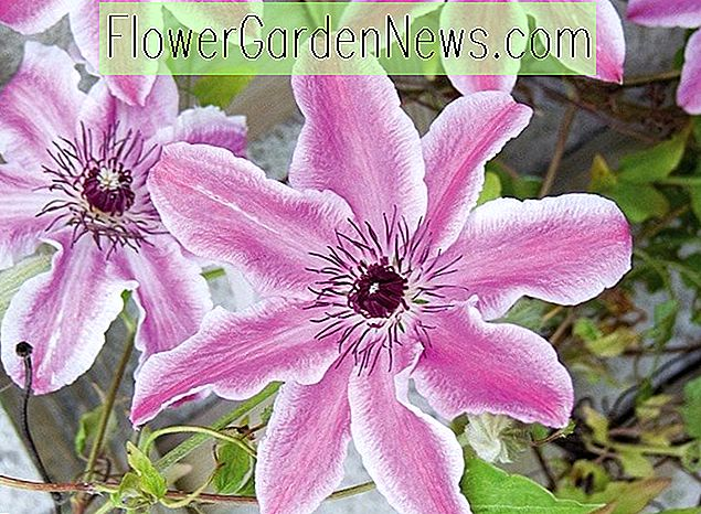 Clematis 'Carnaby' (Early Large Flowered Clematis)