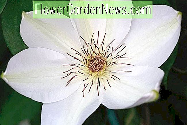 Clematis 'Henryi' (tidlige storblomstede clematis)