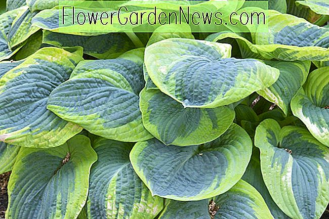Hosta 'Frances Williams' (Wegerich Lilie)