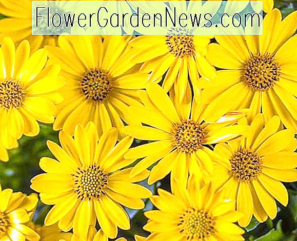 Osteospermum 'Bright Lights Yellow' (Afrikaanse Daisy)