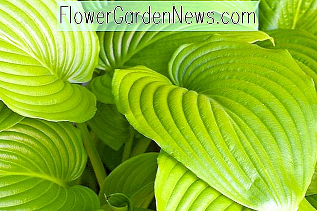 Hosta 'Sum and Substance' (Weegbree Lily)