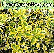 Euonymus Fortunei 'Emerald' n 'Gold', Winterläufer 'Emerald' n 'Gold', Spindel 'Emerald' n 'Gold', immergrüne Sträucher