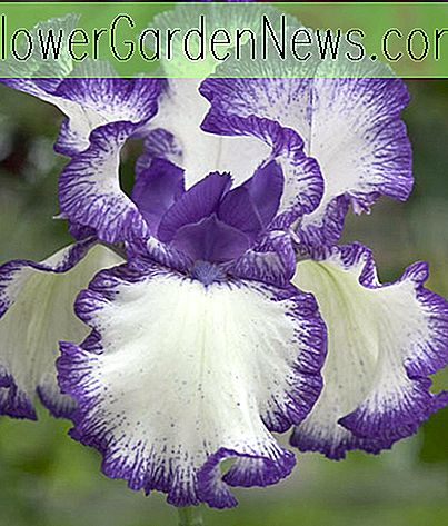 Iris 'Rare Treat' (Bearded Iris)