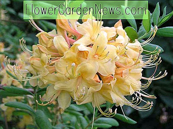 Rhododendron 'My Mary'