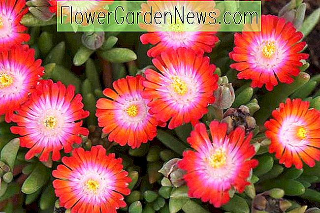 Delosperma 'Jewel of the Desert Grenade' (ijsplant)