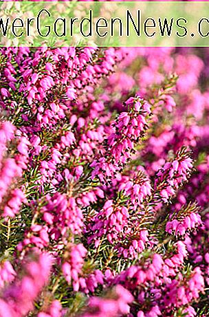 Erica Carnea 'Myretoun Ruby' (Winter Heath)
