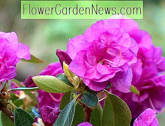 Rhododendron 'April Rose'