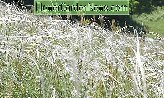 Stipa Barbata (Silver Feather Grass)
