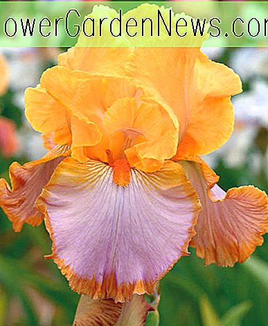 Iris 'Grand Canyon Sunset' (Schwertlilie)