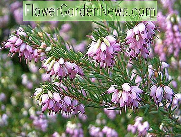 Erica x darleyensis 'Geisterhügel' (Winter Heath)