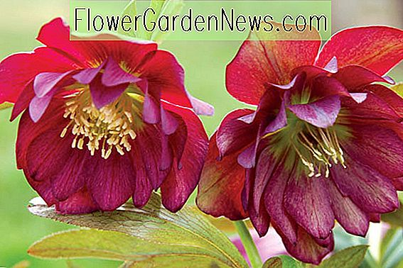 Helleborus Winter Jewels 'Berry Swirl'