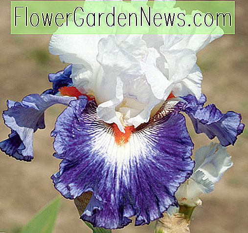 Iris 'Gypsy Lord' (Bearded Iris)