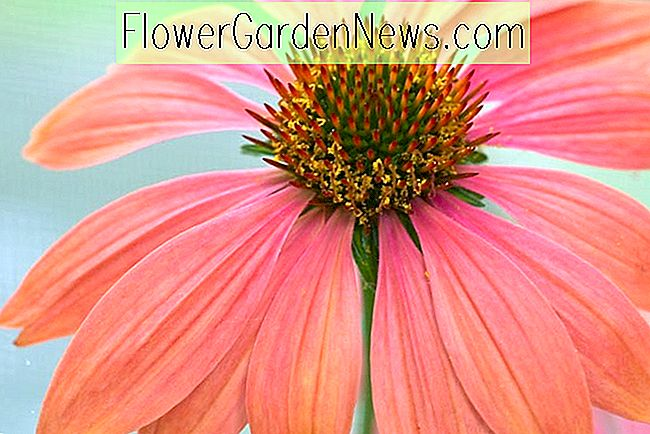 Echinacea 'Twilight' (Coneflower)