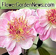 Paeonia Lactiflora 'Do Tell', Peony 'Do Tell', 'Do Tell' Peony, Chinese Peony 'Do Tell', Common Garden Peony 'Do Tell', Pink Peonies, Pink Flowers, Fragrant Peonies