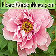 Paeonia 'First Arrival', Peony 'First Arrival', 'First Arrival' Peony, Itoh Peony 'First Arrival', intersectional Peony 'First Arrival', Pink Peonies, Pink flowers, Fragrant Peonies