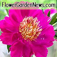 Paeonia Lactiflora 'Comanche', Peony 'Comanche', 'Comanche' Peony, Chinese Peony 'Comanche', Common Garden Peony 'Comanche', Pink Peonies, Pink Flowers, Fragrant Peonies