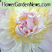 Paeonia Lactiflora 'Golly', Peony 'Golly', 'Golly' Peony, Chinese Peony 'Golly', Common Garden Peony 'Golly', Pink Peonies, Pink Flowers, Fragrant Peonies