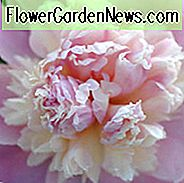 Paeonia Lactiflora 'Whopper', Peony 'Whopper', 'Whopper' Peony, Pink Flowers, Pink Peonies, Fragrant Peonies