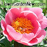 Paeonia 'Lovely Rose', Peony 'Lovely Rose', 'Lovely Rose' Peony, Pink Peonies, Pink Flowers, Fragrant Peonies