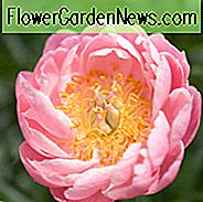 Paeonia 'Abalone Pearl', Peony 'Abalone Pearl', 'Abalone Pearl' Peony, Pink Flowers, Pink Peonies, Coral Flowers, Coral Peonies