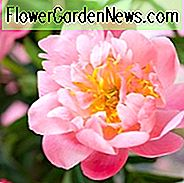 Paeonia 'Show Girl', Peony 'Show Girl', 'Show Girl' Peony, Pink Peonies, Pink Flowers, Fragrant Peonies