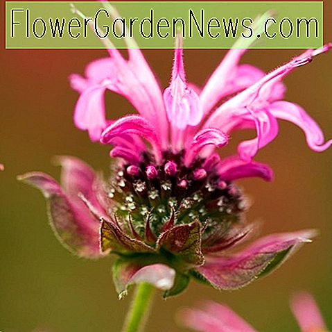 Monarda 'Marshall's Delight' (Bee Balm)