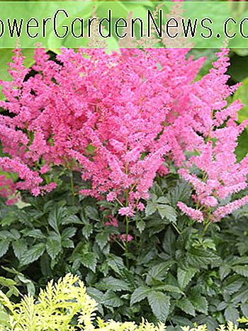 Astilbe 'Jump and Jive'